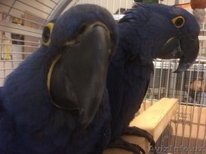 Красивая пара попугаев гиацинтского ара - Изображение #1, Объявление #1622480