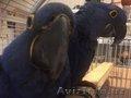 Красивая пара попугаев гиацинтского ара